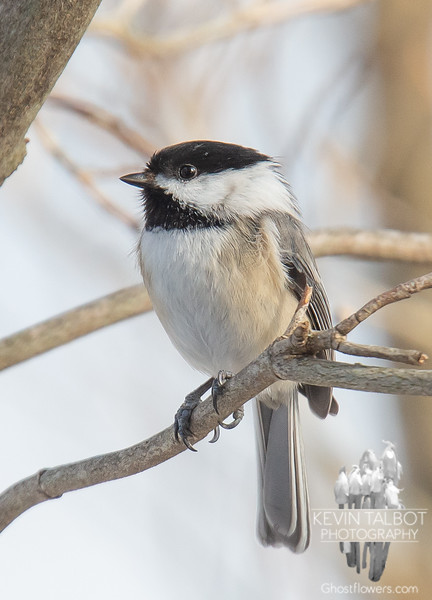 Mr. Chickadee finds today's weather delightful... March 11, 2019.