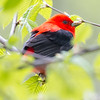 As a child I played under a Horse Chestnut tree in our yard. Each spring the blossoms were beautiful, and each spring a male Scarlet Tanager like this one would come and sing his heart out in the top of that Horse Chestnut tree. I can remember standing in the yard with my mom and dad after supper and listening to him sing. I can count on one hand how many I have seen since those care-free days, but today this one came to remind me...  May 15, 2019.