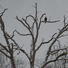 Bald eagle frowns at the weather today... March 10, 2019.