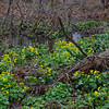Today in a marsh near you- Marsh Marigolds (Caltha palustris)... April 26, 2019.