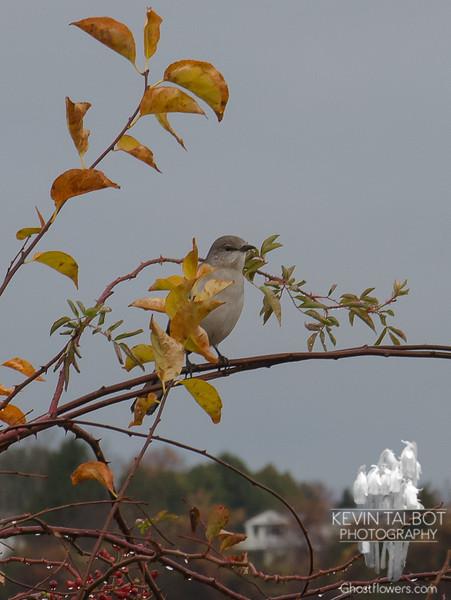 Today along the hedge- Mockingbird (Mimus polyglottos)... November 5, 2019.