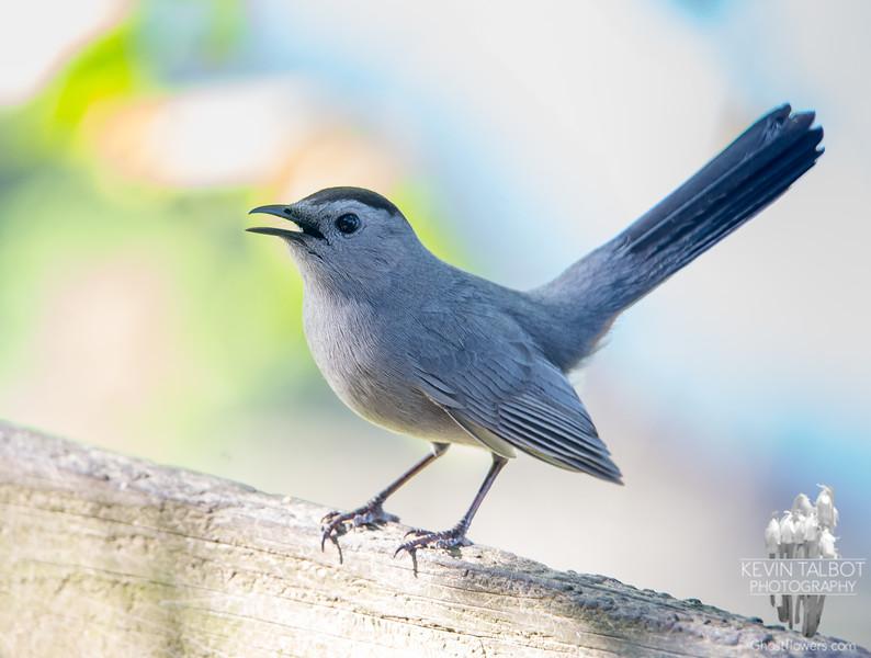 """""""Meow!"""" My buddy- Gray Catbird (Dumatella carolinensis)... May 22, 2019."""