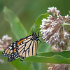Finally showing up in numbers- Monarch (Danaus plexippus) on Milkweed (Asclepias syriaca)... July 18, 2019.