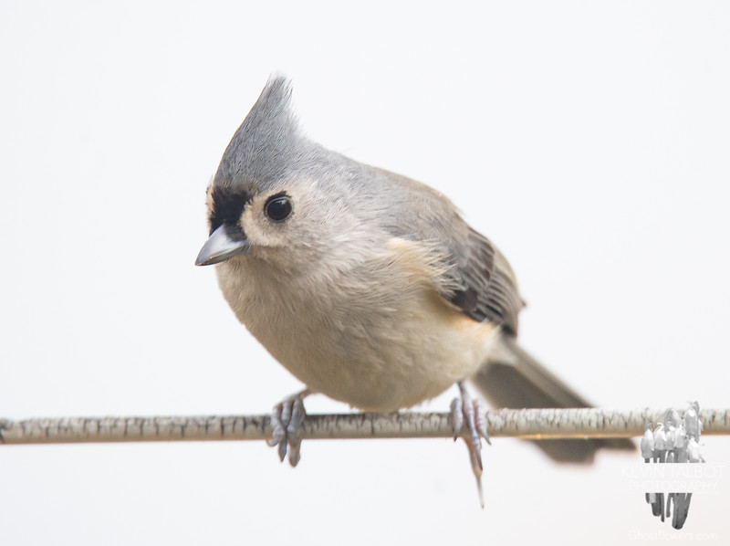Rainy Day Friend- Tufted Titmouse (Parus bicolor)... November 7, 2019.
