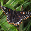 Today in a field near you- Baltimore Checkerspot (Euphydryas phaeton)... June 30, 2019.