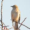 This afternoon in Salisbury- Mockingbird (Mimus polyglottos)... November 21, 2019.