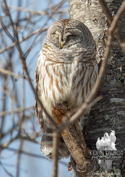 """Please, don't wake me, no, don't shake me<br /> Leave me where I am, I'm only sleeping"" - John Lennon - Barred Owl (Strix varia) today, napping in the sun. We haven't named ""her"" because we really don't know the sex, but we're hoping to be calling her ""Mama"" soon... February 2, 2019."