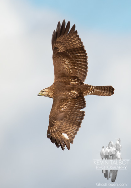 Circling high and hunting low- Juvenal Red Tailed Hawk (Buteo jamaicensis) today in Salisbury... February 8, 2019.