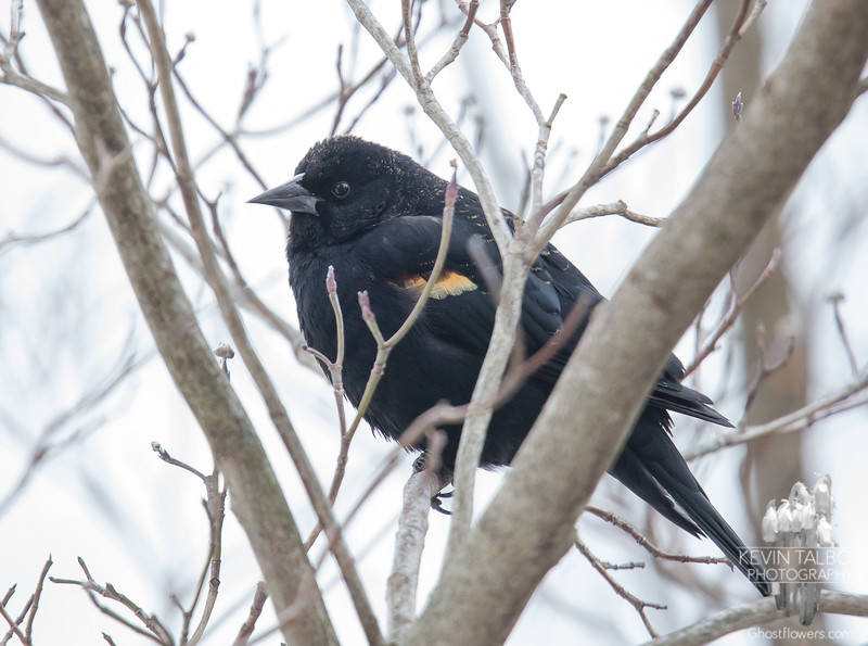 The Scouts have been here for about a week. Red-winged Blackbird (Agelaius phoeniceus) Early Spring for New England... February 27, 2019.