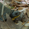 "Blanding's Turtle (Emydoidea blandingii)- We came across this turtle on one of our walks today. They're not very flashy and may not seem very important in most people's lives, but the truth is- <br /> <br /> NH Conservation Status: State Endangered, Wildlife Action Plan Species in Greatest Need of Conservation. Legally protected in New Hampshire: possession, sale, import, and take (harm, harass, injuring, killing) is illegal.<br />  <br /> State Rank Status: Critically imperiled (S1)<br />  <br /> Distribution: Restricted to Southeastern NH<br /> <br /> NH F&G<br /> <br /> If you come across ANY turtle on a roadway PLEASE help them across in the direction they are moving! We came upon this one in the woods where it belongs, but their worst threat is road mortality! For more info on the Blanding's Turtle visit:<br /> <br /> <a href=""https://www.wildlife.state.nh.us/wildlife/profiles/blandings-turtle.html"">https://www.wildlife.state.nh.us/wildlife/profiles/blandings-turtle.html</a><br /> <br /> May18, 2019."