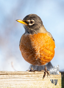 Will probably spend the winter here with us in SE New Hampshire-  American Robin (Turdus migratorius)... December 7, 2019.