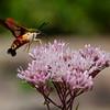 "Another day, another ""Flying Shrimp""- Hummingbird Clearwing Moth (Hemaris thysbe) on  Joe Pye Weed (Eupatoriadelphus maculatu)... August 15, 2019."