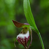 Ever see one of these in person? Me either until today- Ram's Head Lady's Slipper (Cypripedium arietinum)... May 30, 2019.