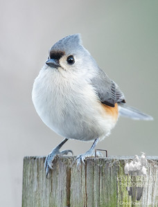 """Just dropped by to say """"Hi!"""" today- Tufted Titmouse (Parus bicolor)... December 26, 2019."""