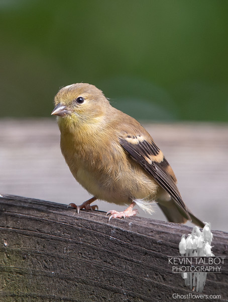 Second Brood Fledgling American Goldfinch- Stopped calling for food long enough for me to take his picture... August 12, 2019.