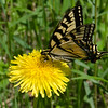 Why Dandelions don't suck- They are an important early source of nectar for the  Canadian Tiger Swallowtail (Papilio canadensis) and many other butterflies on their long journey... June 16, 2019.