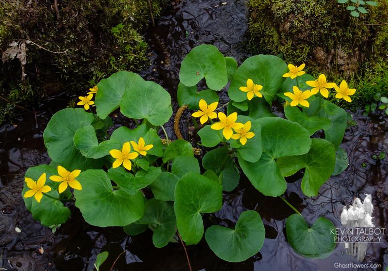 Brightening a Dark Corner of the Woods Today- Marsh Marigolds (Caltha palustris)... April 30, 2021.