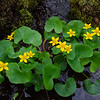 Brightening a Dark Corner of the Woods Today- Marsh Marigolds (Caltha palustris)... April 30, 2021.