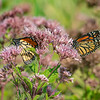 Lots of Monarchs today in the Meadow working the Joe Pye Weed... September 3, 2021.