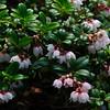 Mountain Cranberry (Vaccinium vitisidaea0