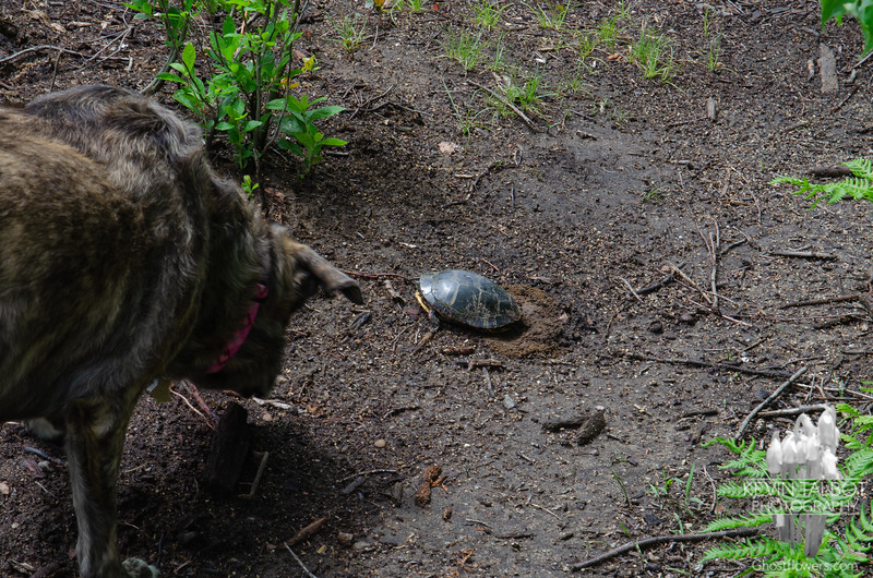 Wicket checks on Mrs. Painted Turtle who was out to lay her eggs today... June 14, 2021.
