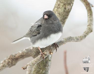 Hello Little Snowbird. Did you Bring Me a Little Snow? Dark-eyed Junco (Junco hyemalis)... January 27, 2021.