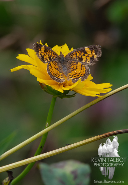 Barely as Big as the Tip of My Thumb- Tiny Pearl Crescent (Phyciodes tharos)... July 25, 2021.