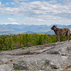 Surveying Her Queendom Today From Foss Mountain... May 13, 2021.