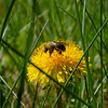 Pollinators Gotta Pollinate... May 1, 2021.