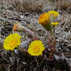 Today in Kingston- Colt's Foot (Tussilago farfara)... March 31, 2021.