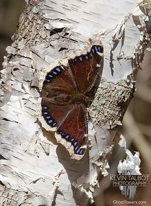 Caught the Elusive Butterfly of Spring Today- Mourning Cloak (Nymphalis antiopa). Mourning Cloaks are some of the first butterflies we see each Spring because unlike most butterflies these hibernate over winter in tree cavities and under bark... April 4, 2021.