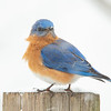 Just a Little Bluebird with Some Snowflakes on His Nose... February 7, 2021.