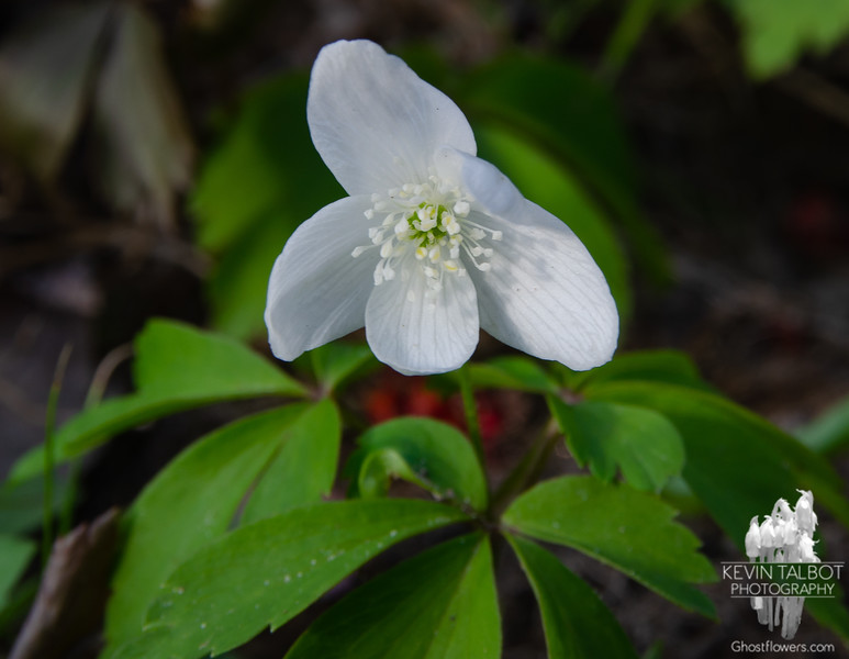 Today on the Forest Floor in Southeast NH- Wood Anenome (Anenome quinqueifolia)... April 20, 2021.