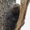 Little Cuddle Bear Today on Our Walk- Porcupine (Erethizon dorsatum)... April 15, 2021.