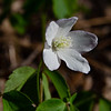 Today on the Forest Floor- Wood Anenome (Anenome quinqueifolia)... April 27, 2021.