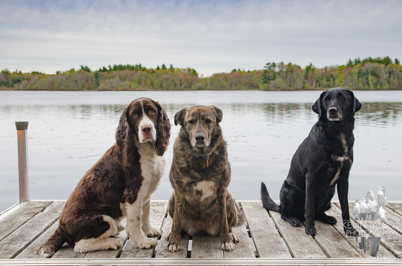 Three of the Happiest Looking Dogs Ever! Gibson (L), Wicket, & Guthrie (R) They're Tired From Chasing Two Old People Around for the Past Couple of Days... May 9, 2021.