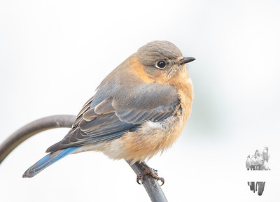 Today: The Muted Colors of the Beautiful Mrs. Bluebird... January 14, 2021.