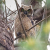 Exploring the Branches Around His Nest- Great Horned Owlet (Bubo virginianus)... May 31, 2021.