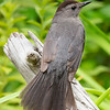 Today in Our Garden- Gray Catbird (Dumatella carolinensis) My boys knew the birds gave me great comfort... July 1, 2021.