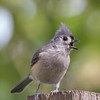 Doesn't care for the weather, either... Tufted Titmouse (Parus bicolor)... August 30, 2021.