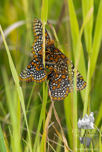 Down in the Grasses Again- Hundreds of These Today in the Fields Where We Walked- Baltimore Checkerspot (Euphydryas phaeton)... June 25, 2021.