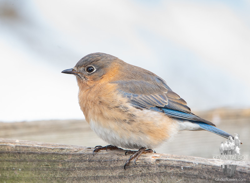 Little Ms. Bluebird Fluffed Against the Cold... January 9, 2021.