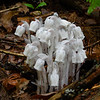 """In case you didn't already know, a little about Indian Pipe (Monotropa uniflora) My mom and grandmother always called them """"ghostflowers"""". This from Wikipedia """"Unlike most plants, it is white and does not contain chlorophyll. Instead of generating energy from sunlight, it is parasitic, and more specifically a mycoheterotroph. Its hosts are certain fungi that are mycorrhizal with trees, meaning it ultimately gets its energy from photosynthetic trees. Since it is not dependent on sunlight to grow, it can grow in very dark environments as in the understory of dense forest."""" ... July 18, 2021."""