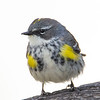 Noticed They Were Back a Few Days Ago, Couldn't Prove it Until Today- Yellow-rumped Warbler (Dendroica coronata)... April 22, 2021.