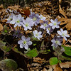 Hepatica Having Their Day in the Sun... April 14, 2021.