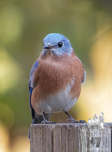 Papa Bluebird Was Waiting With Mama & This Year's Brood to Cheer Us Up When We Got Home Today, So Great to Have Them Back After the Long Summer! October 21, 2021.