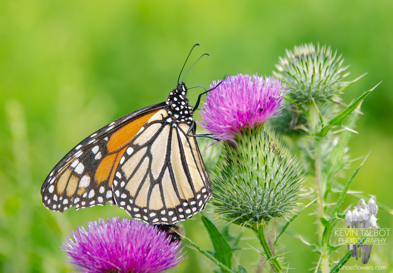 Monarch on Bull Thistle Today at Woodsom Farm... August 8, 2021.