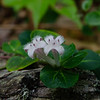 Today on the Forest Floor- Partridgeberry (Mitchella repens)... June 19, 2021.