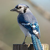 Another Primary Color Bird- Blue Jay (Cyanocitta cristata)... January 8, 2021.