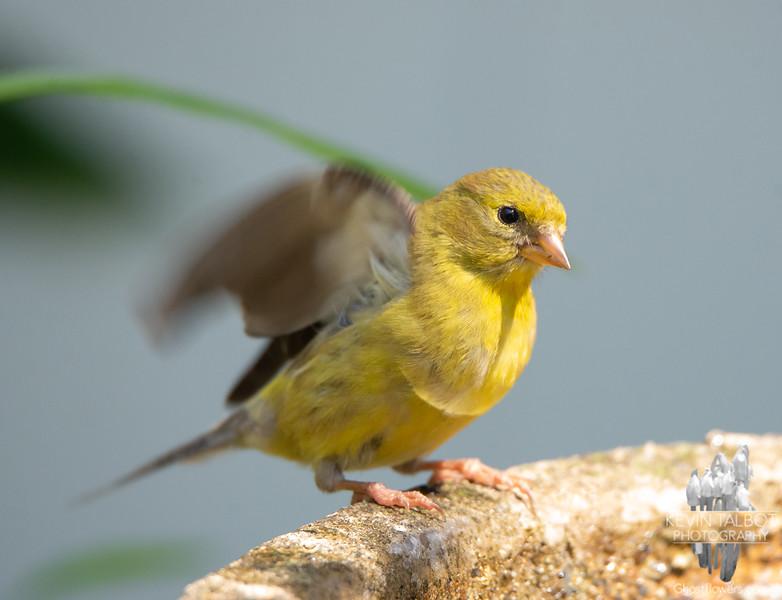 Baby Goldfinch Today at the Birdbath... July 31, 2021.